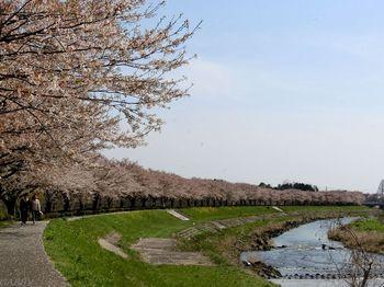 川土手の桜